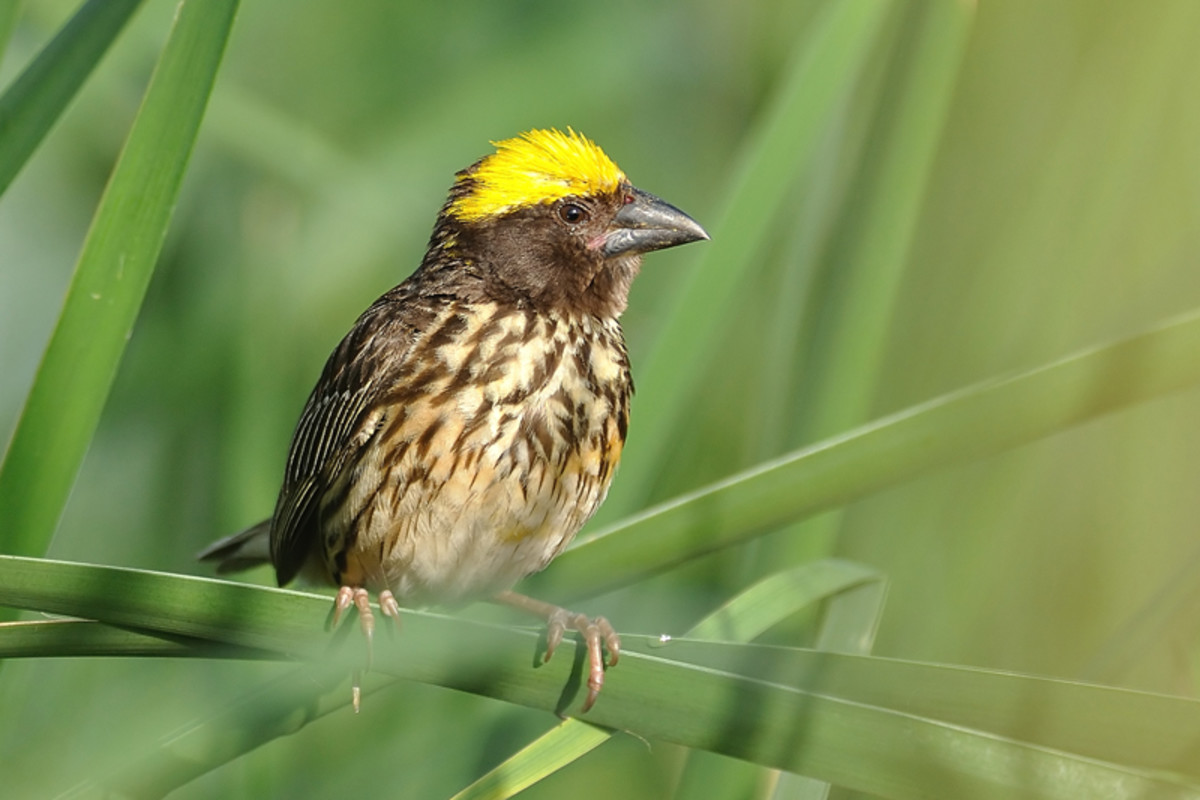 The Streaked Weaver Bird is one of the most dexterous and hard working among the birds