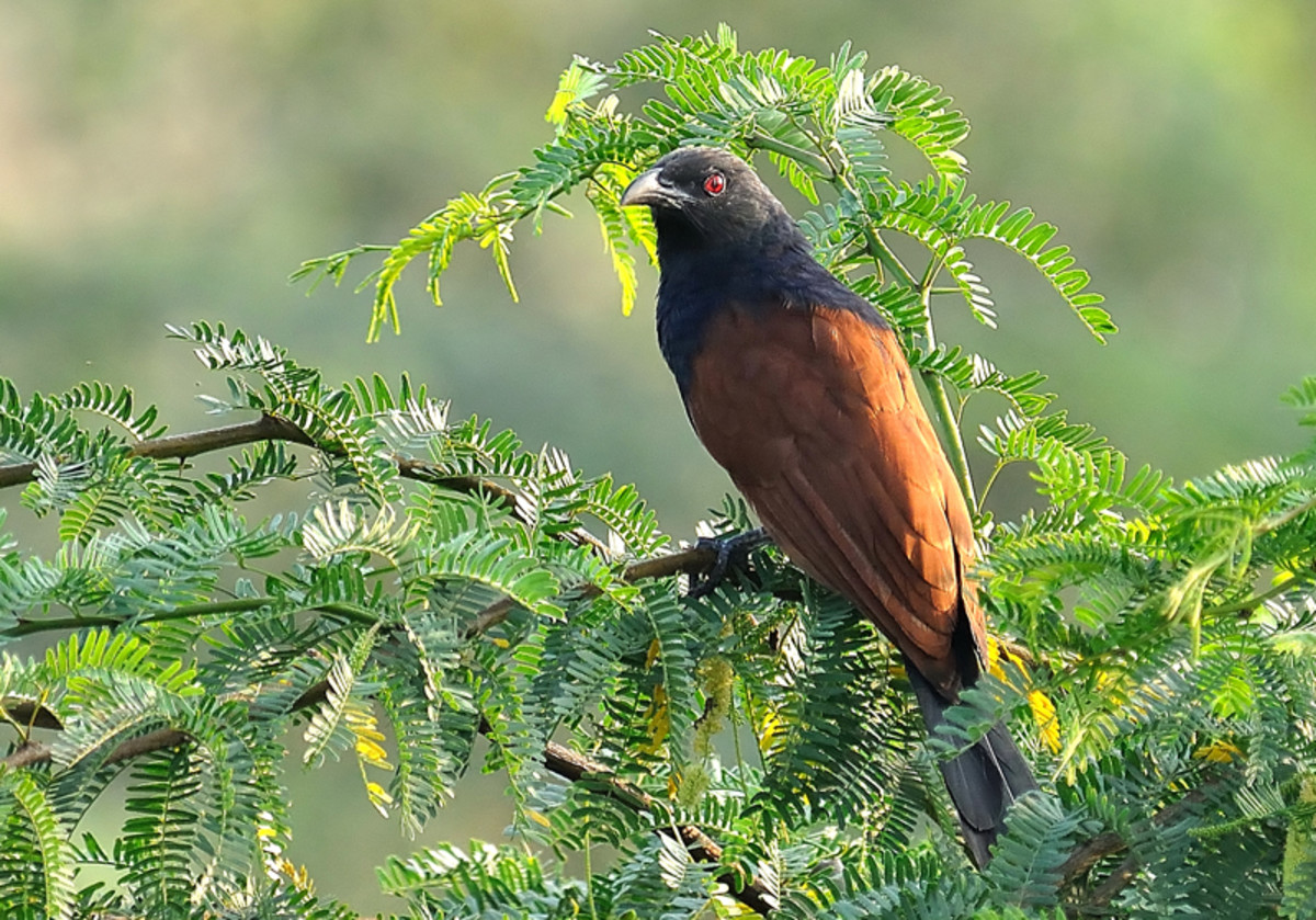 The Greater Coucal or Crow Pheasant is a sight to behold with its black and saffron colors (along Chitravati river bed)