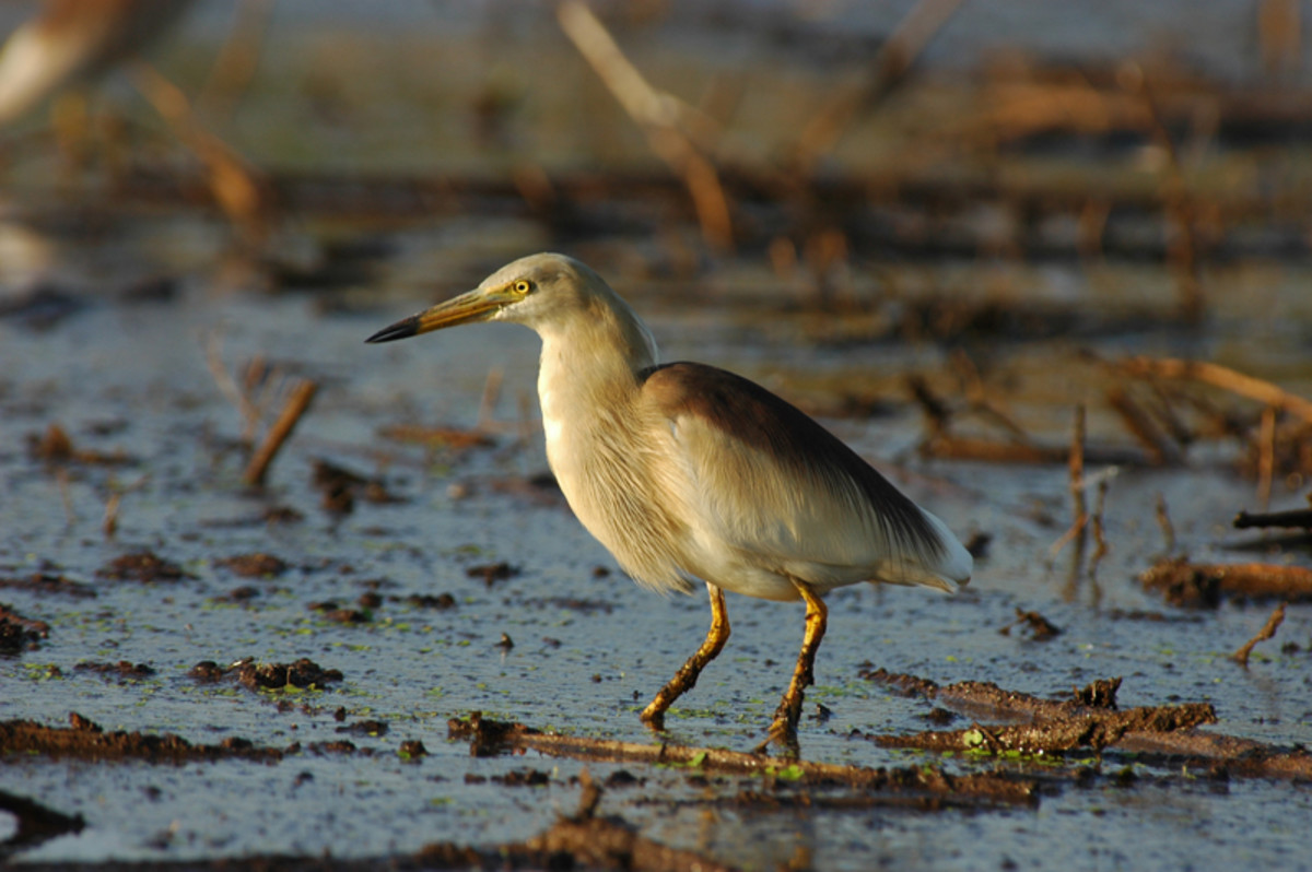 The Pond Heron spends all the day in shallow water catching frogs and fishes. (fields along the Sahebcheruvu)
