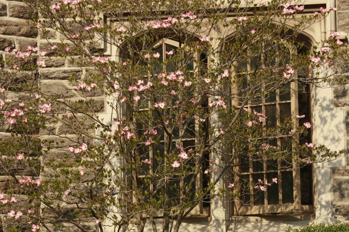 Cherry blossoms begin to open along building in Princeton.