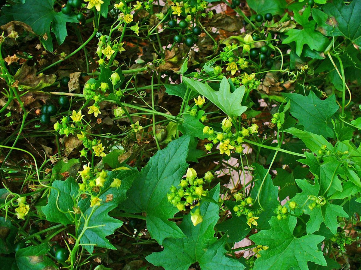 Bryonia alba Roots of this plant are used for preparation of the homeopathic remedy