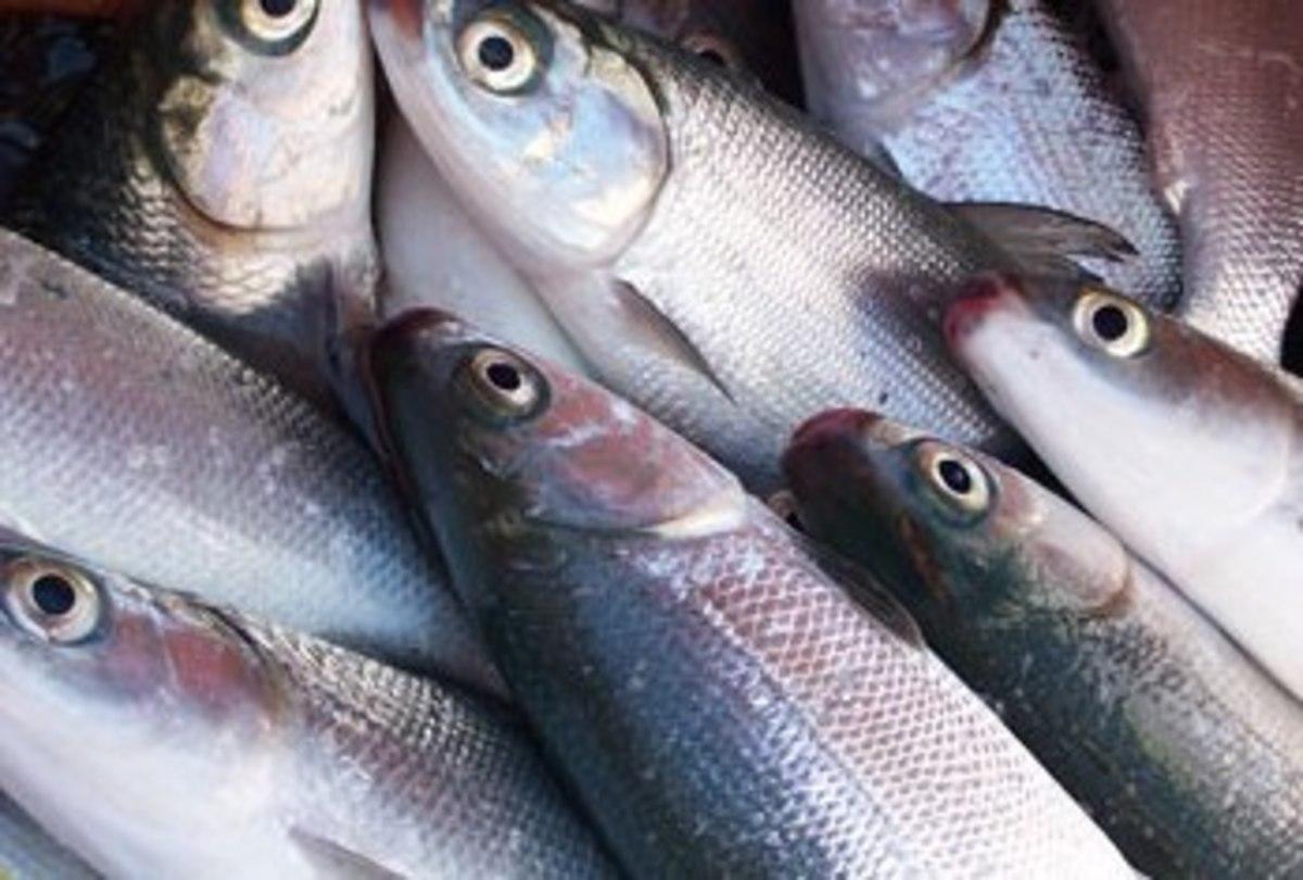 Fresh Milkfish or Bangus (Photo Credit: msita.com)