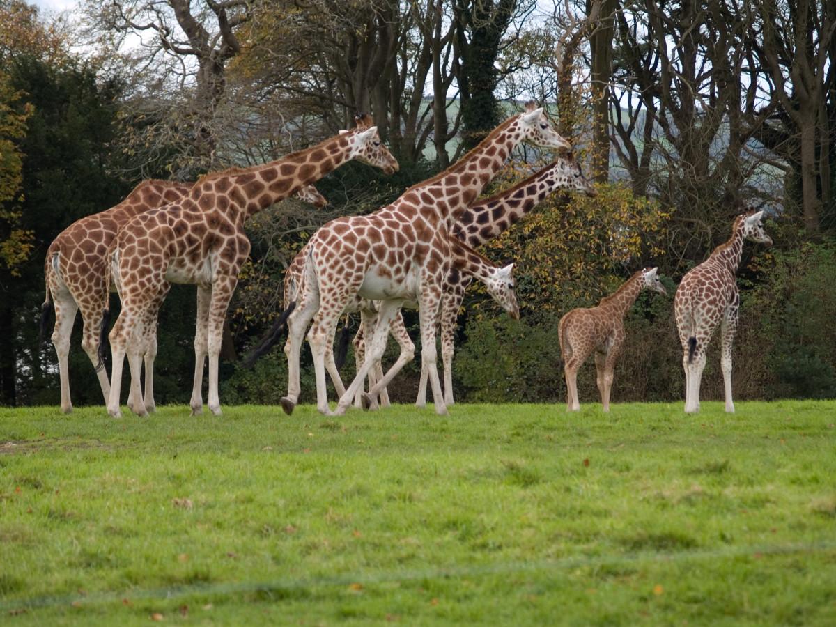"""a """"tower"""" of giraffes"""