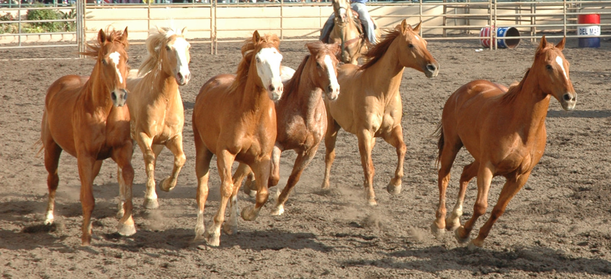 "Everyone knows that the collective noun for horses is ""herd."""