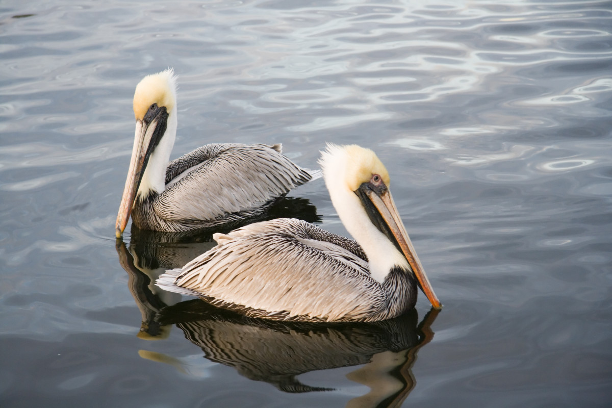 "A group of pelicans is a ""gulp."""