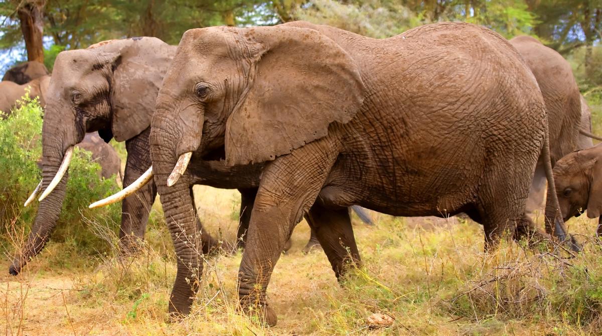 "a ""parade"" of elephants"