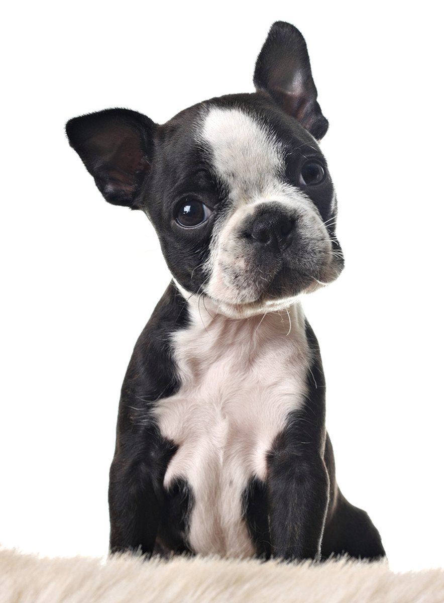 Boston Terriers often have folds of skin on their faces.