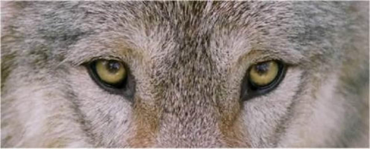 Werewolf Vs. Lycanthrope