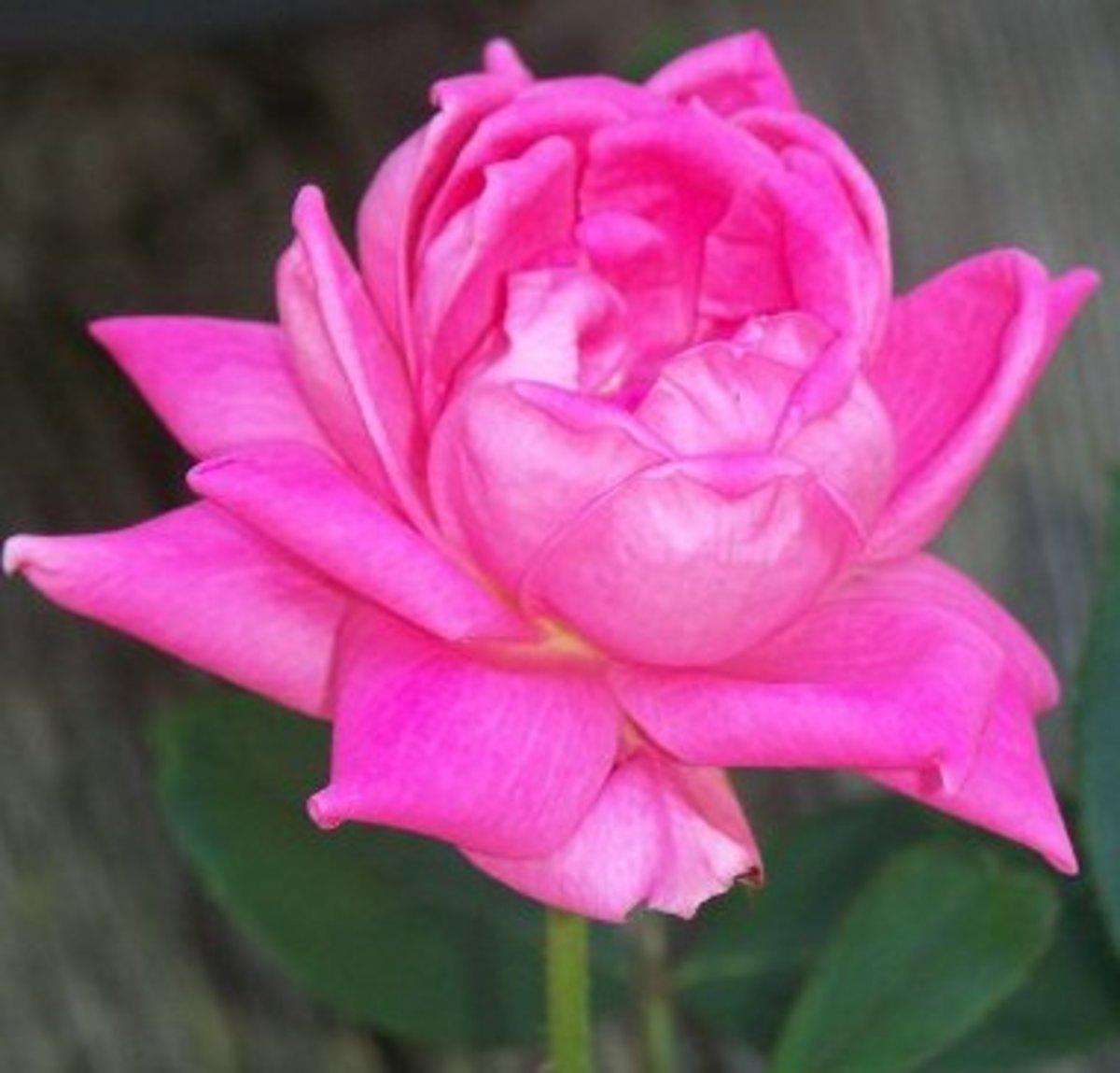 A Poem For Grandma. Grandma's Rose Garden, Haiku