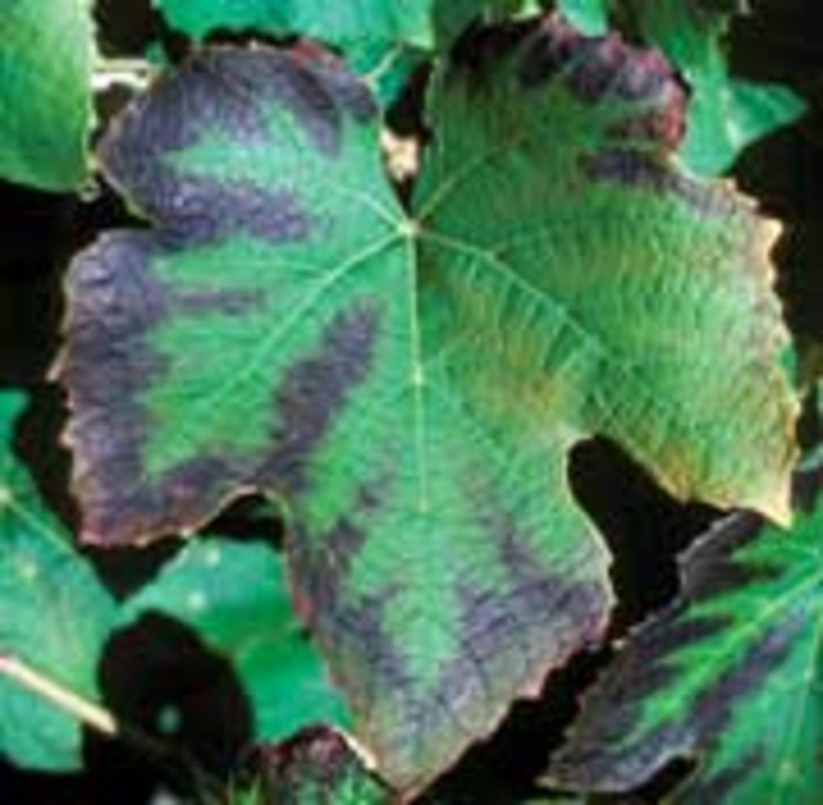 The scorched leaf margins of this leaf is a sign of potassium deficiency.