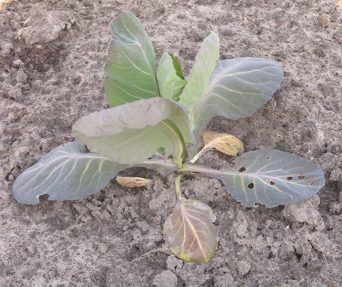 Plant Nutrient Deficiencies - What To Look For And How To Correct Them