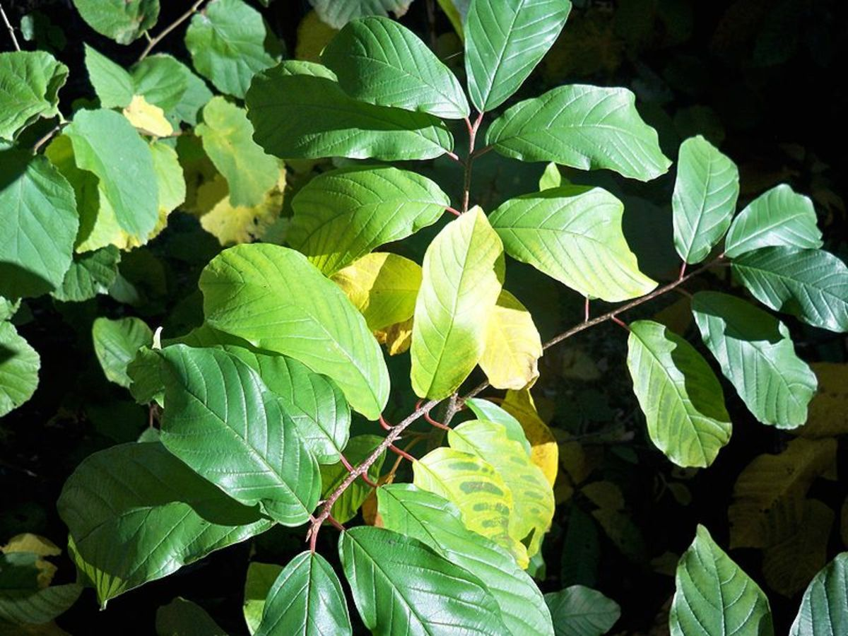 Frangula alnus (Alder Buckthorn) with magnesium deficiency
