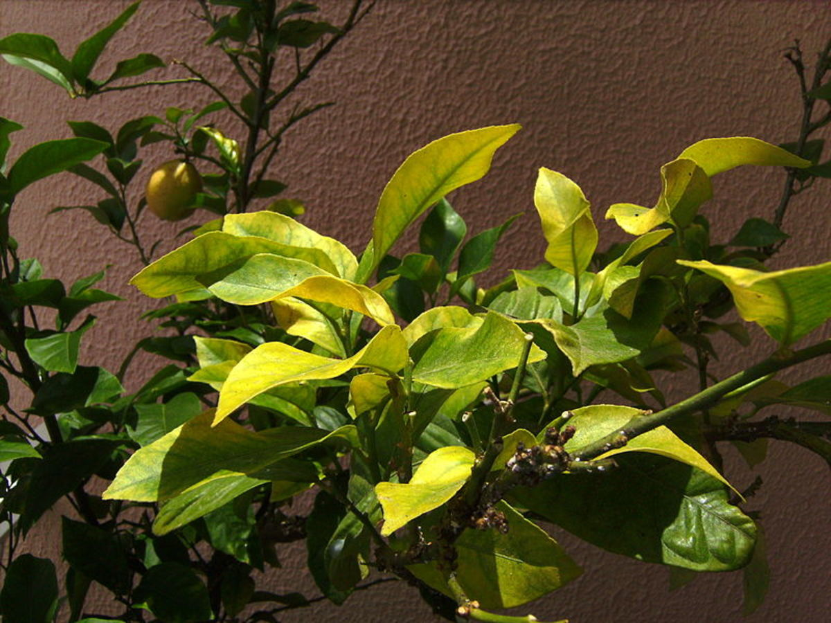 A lemon tree showing signs of iron deficiency (chlorosis).