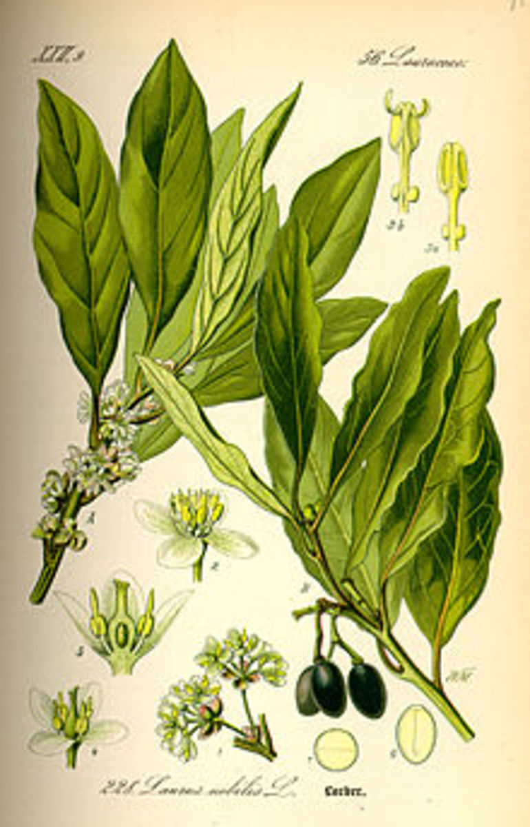 bay leaves - an essential ingredient for successful and delicious cod fish stew (Bakalar)