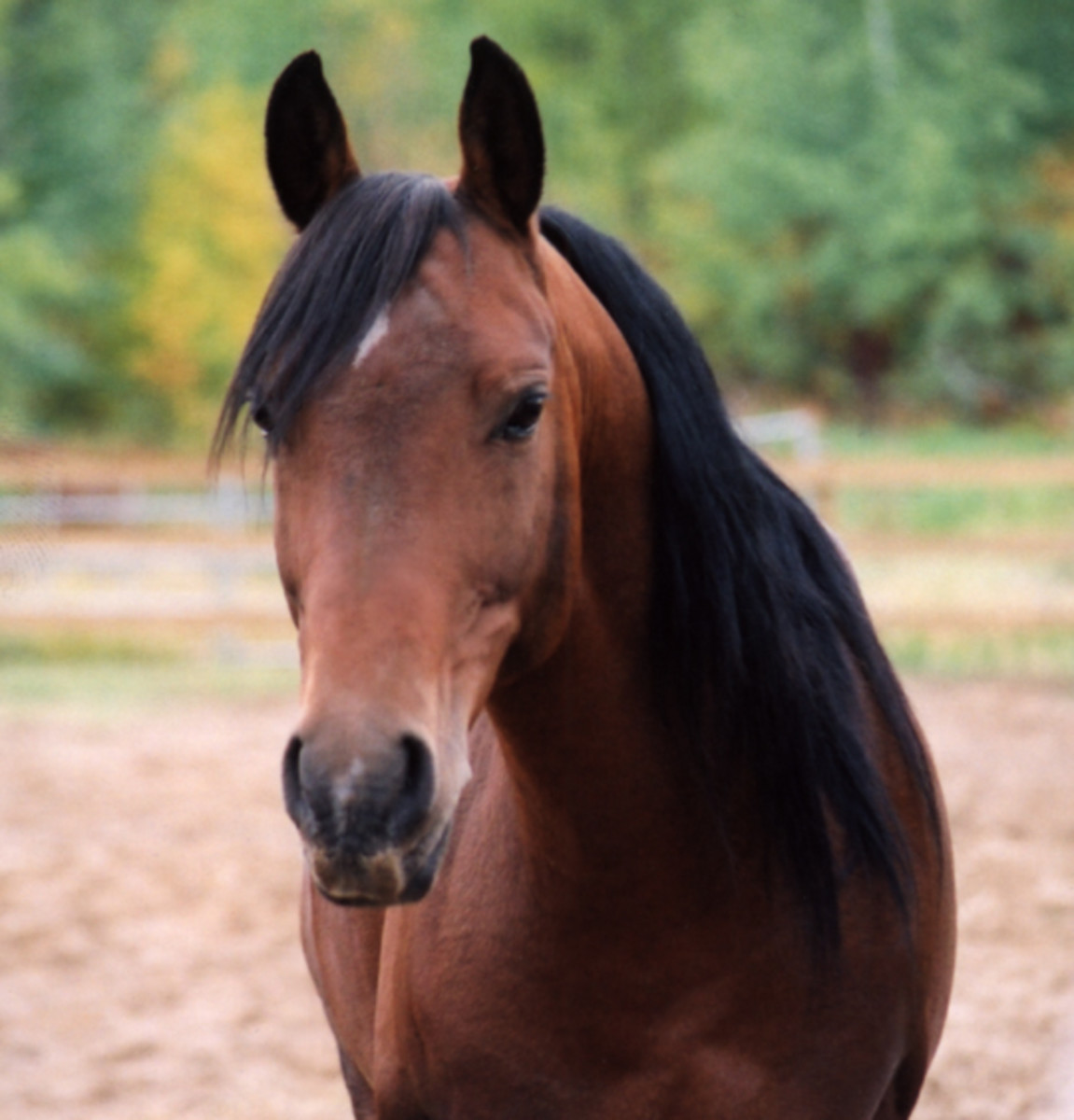 Brown horse with a black mane.