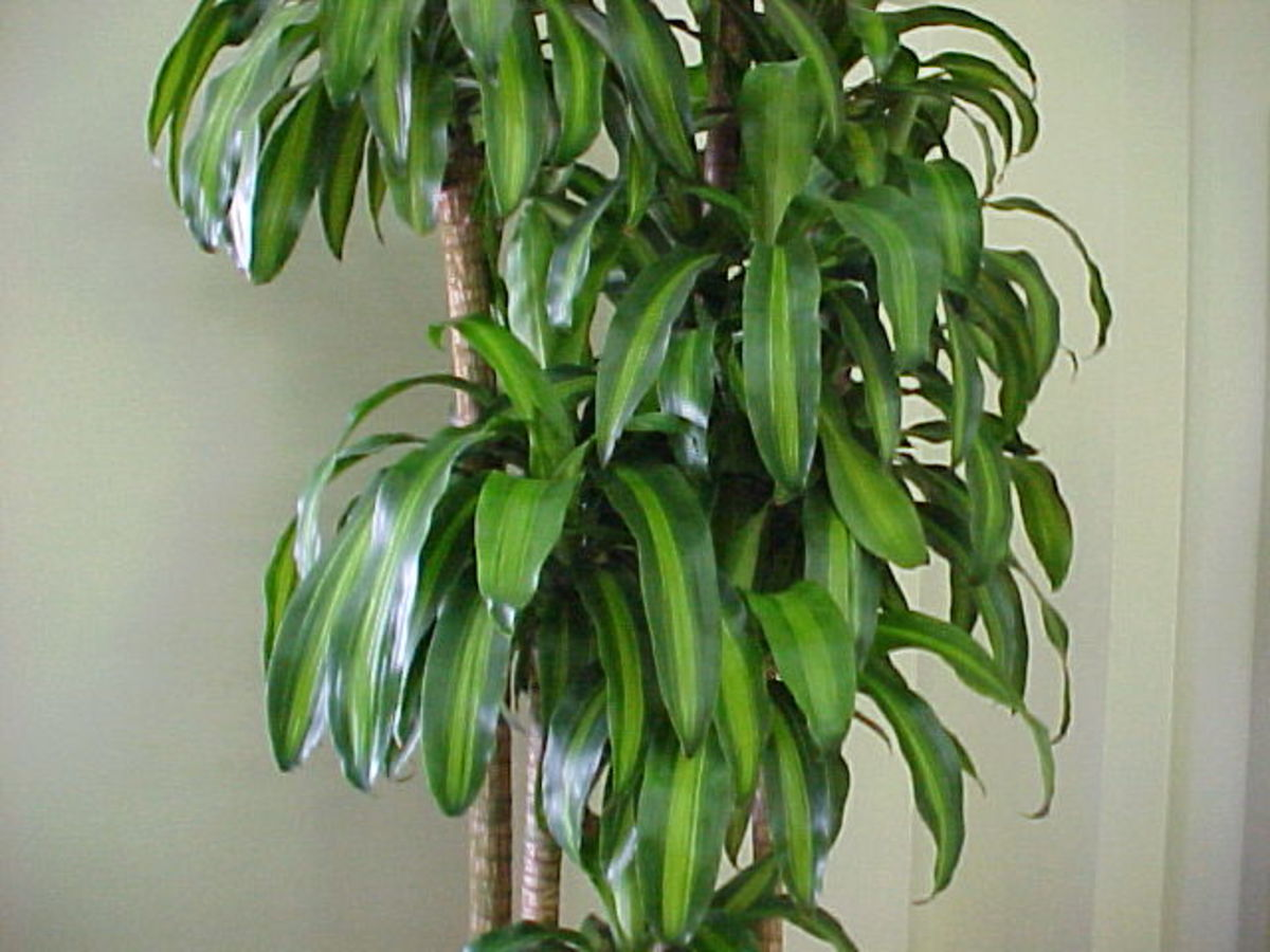 The cornstalk plant is an excellent indoor plant commonly used by feng shui experts for its soft, large leaves and for its air purifying qualities.