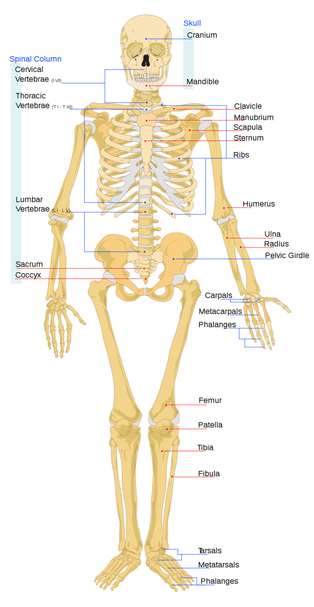 Diagram of Human Skeletal System front view. Image Credit: LadyofHats Via Wikimedia
