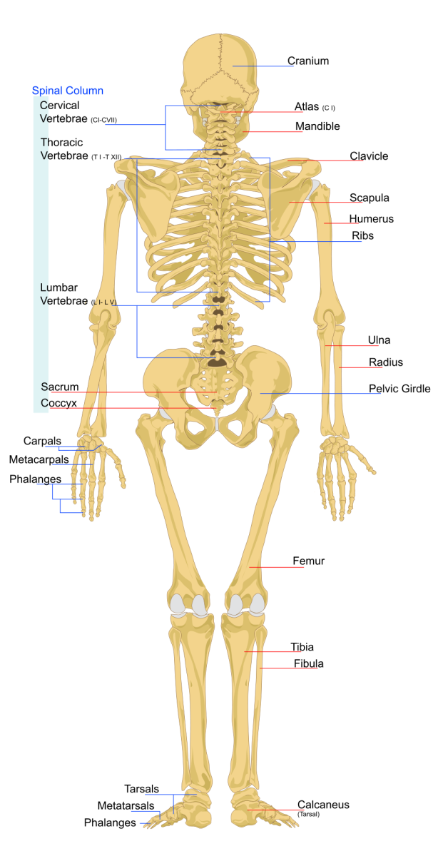 Human Skeletal System Human Skeleton Bones And Functions Of