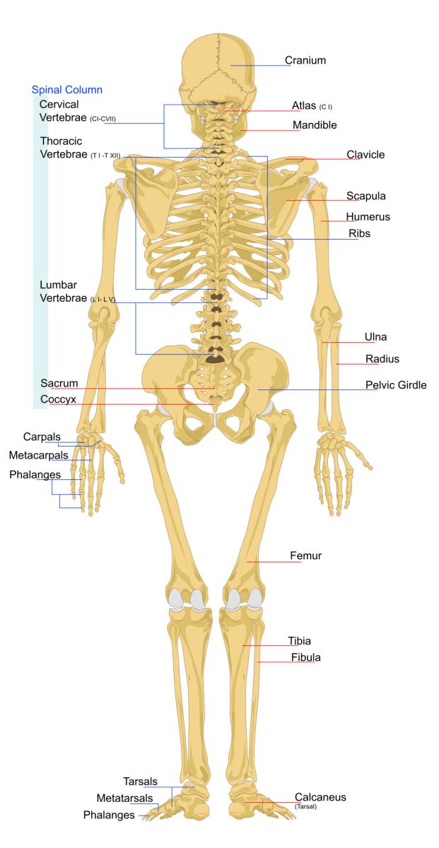Diagram of Human Skeletal System - Back View  Image Credit  LadyofHats    Upper Back Bones