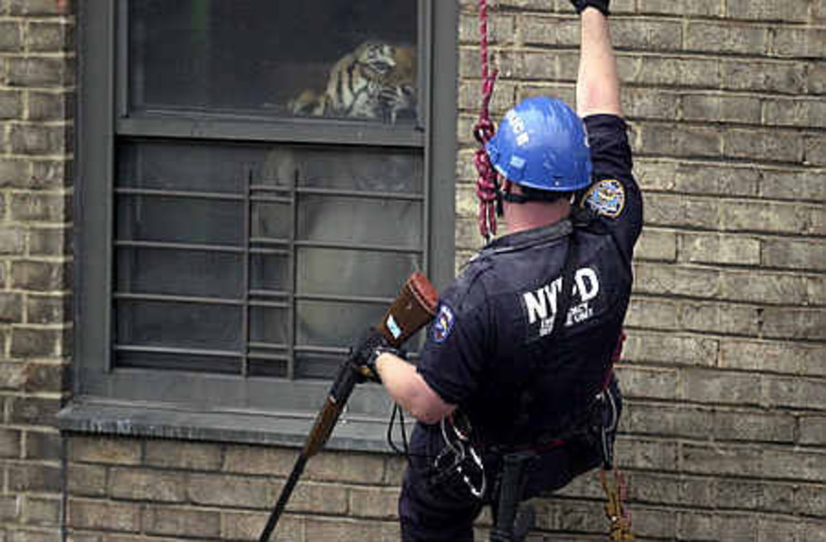 Ming, Harlem's apartment tiger. An incredibly exceptional downfall of private big cat ownership.