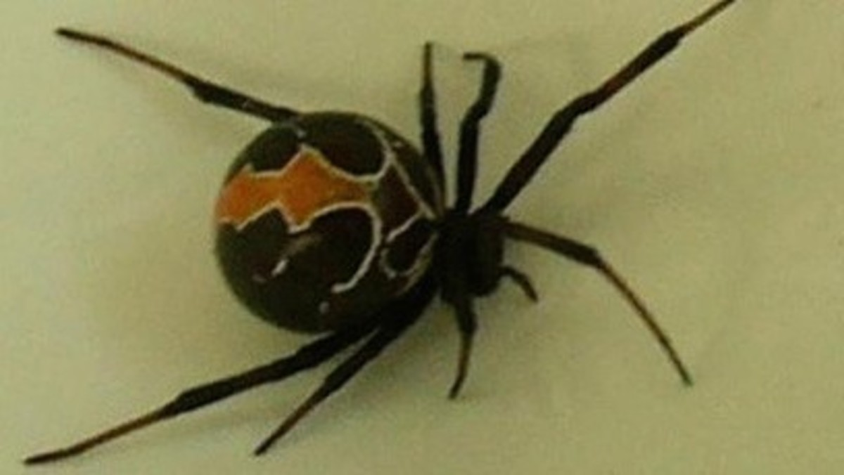 poisonous-and-venomous-snakes-spiders-bugs-and-creatures-in-new-zealand