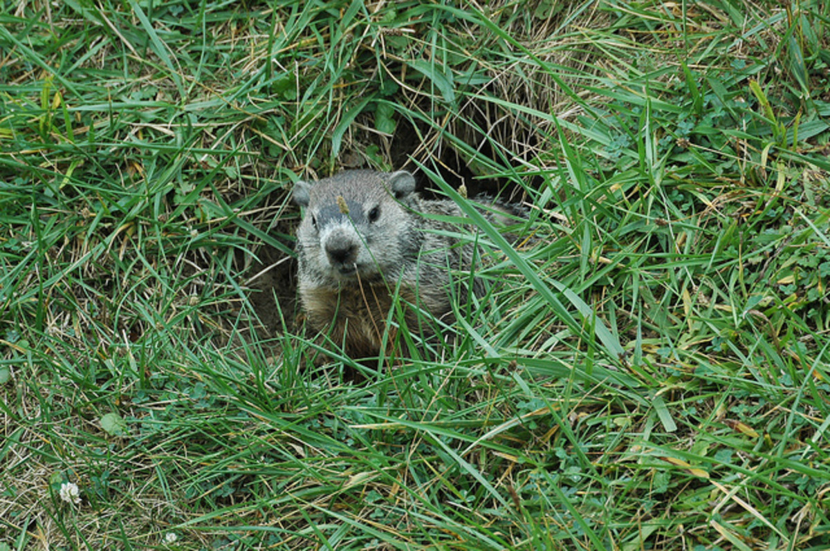 Excellent excavators, a groundhog's burrow may have up to fifty feet of tunnel with one or more spacious den, and two to five entrance holes to provide easy above-ground escape routes.  Photo by:  kennethkonica, September 10, 2011
