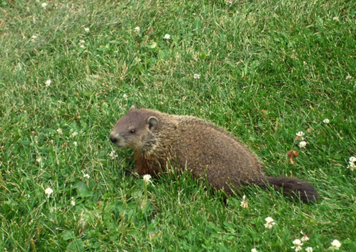 Woodchuck, Whistle-Pig, Land-Beaver - Everything You Would Ever Like to Know About Groundhogs in North America