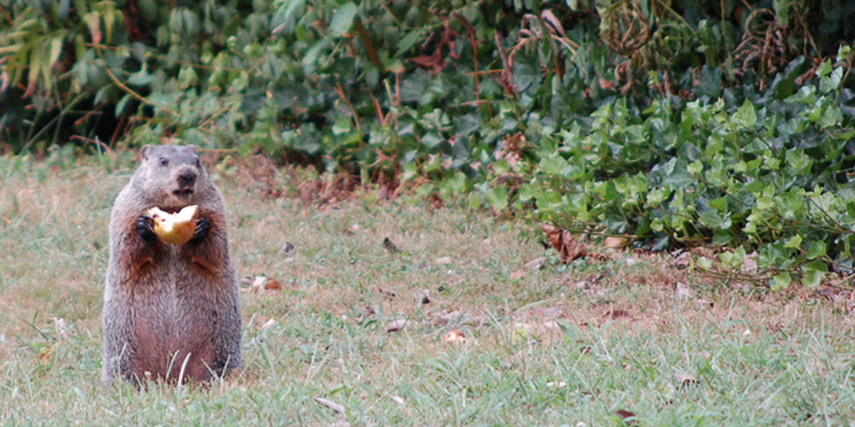 Like their cousin the squirrel, groundhogs are often observed sitting upright while enjoying a snack, but unlike the squirrel, they do not bury their food, or store for later meals.  Photo by: John Kratz, August 22, 2006