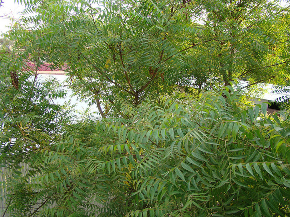 uses-of-neem