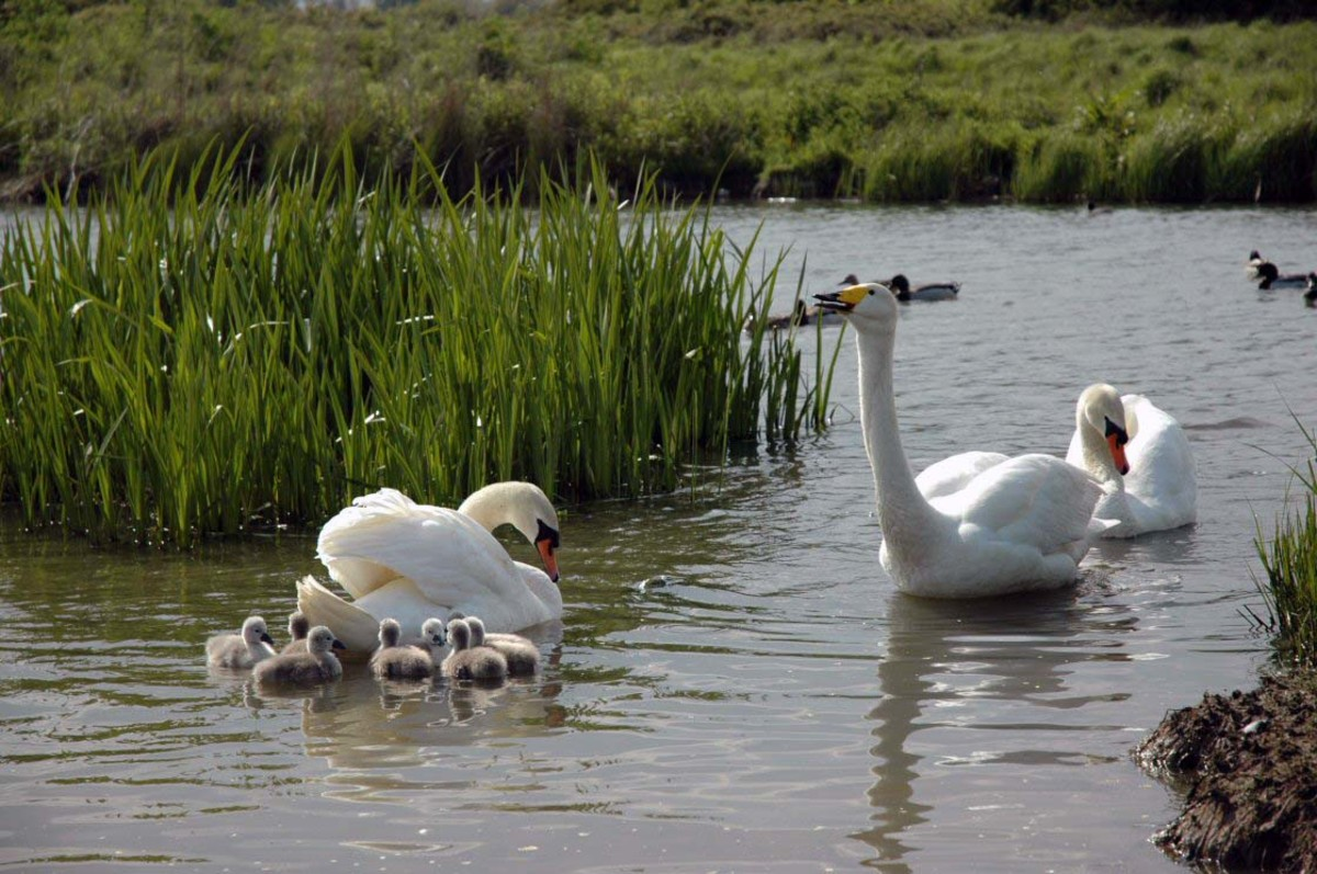 Mistral the swan and her family.