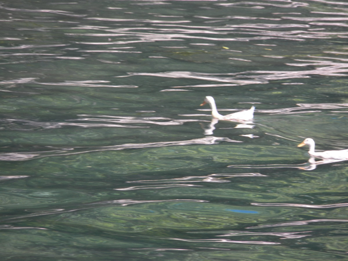 On the Li River cruise, we saw that people still keep ducks on the river and use boats like the one in Ping's story.