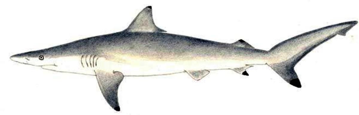 Carcharhinus brevipinna (Spinner shark)