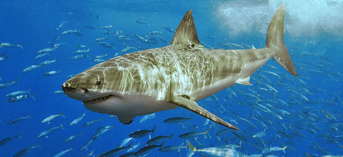 Top 10 Most Dangerous Sharks in the World