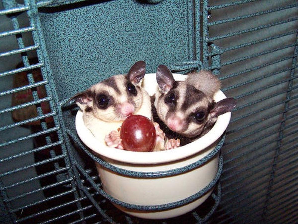 Sugar gliders in their food bowl.
