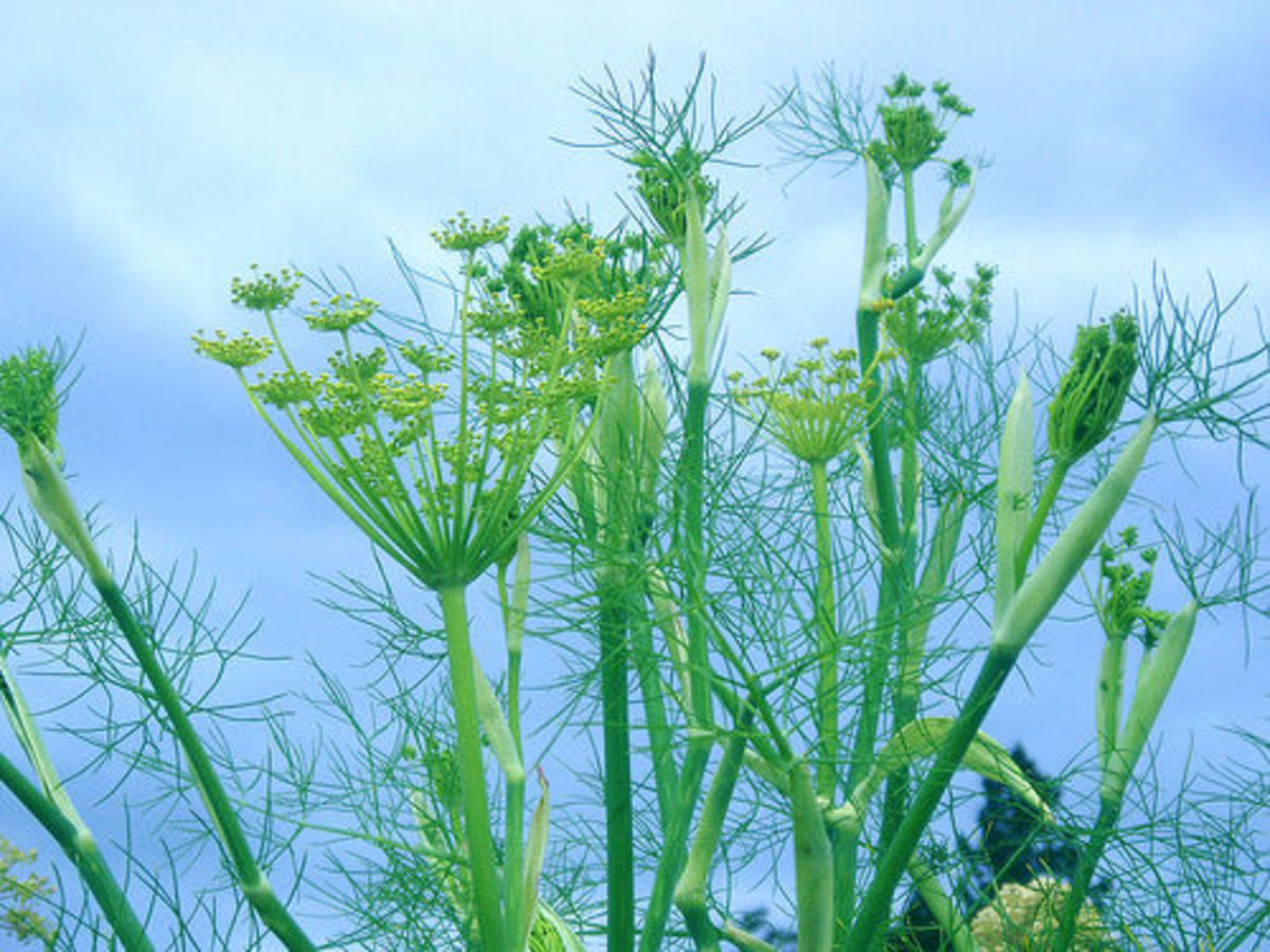 benefits-of-fennel-and-fennel-seeds