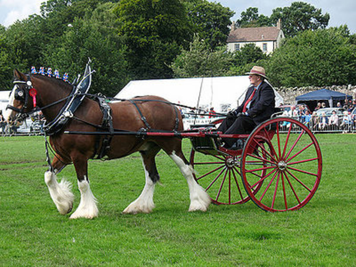 Working as draft horses is what they are bred to do.