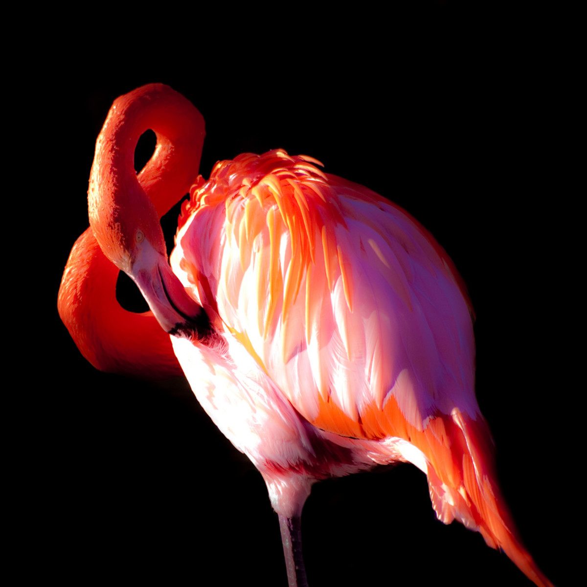 Photo Series-Flamingoes