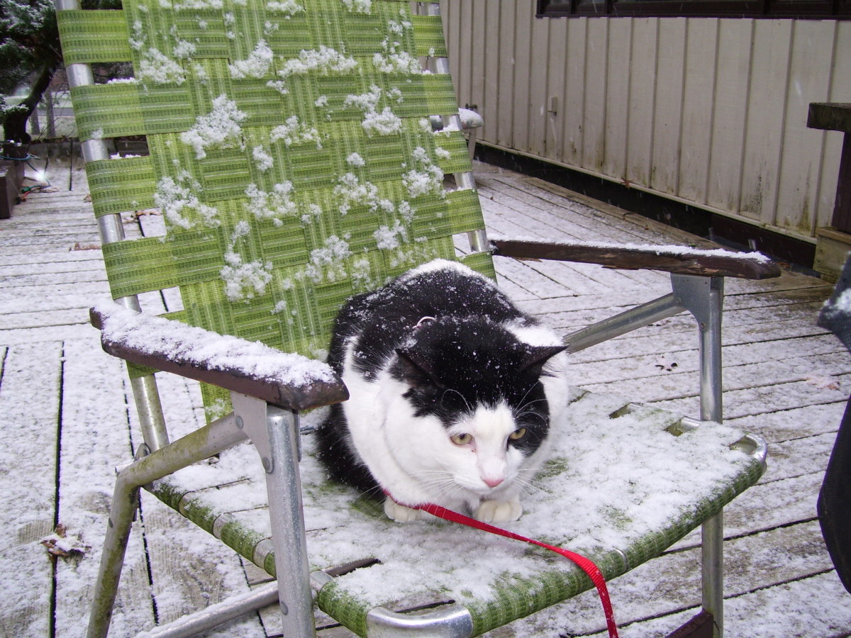 Cow Cat hates snow but loves that chair. I did eventually bring him inside!