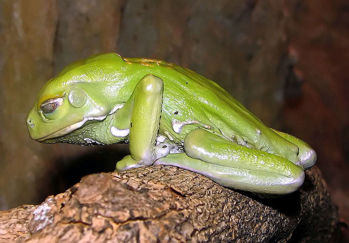 Photo of a Waxy Tree Frog