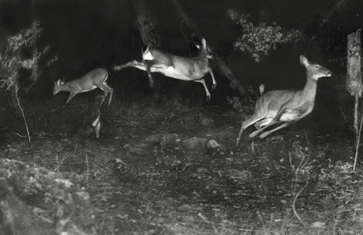 Three deer in a blunder.