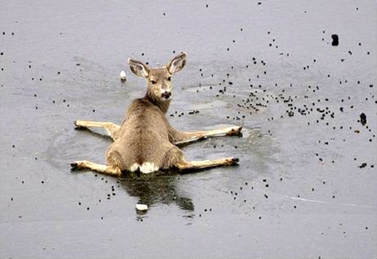 This little deer is stuck on ice.