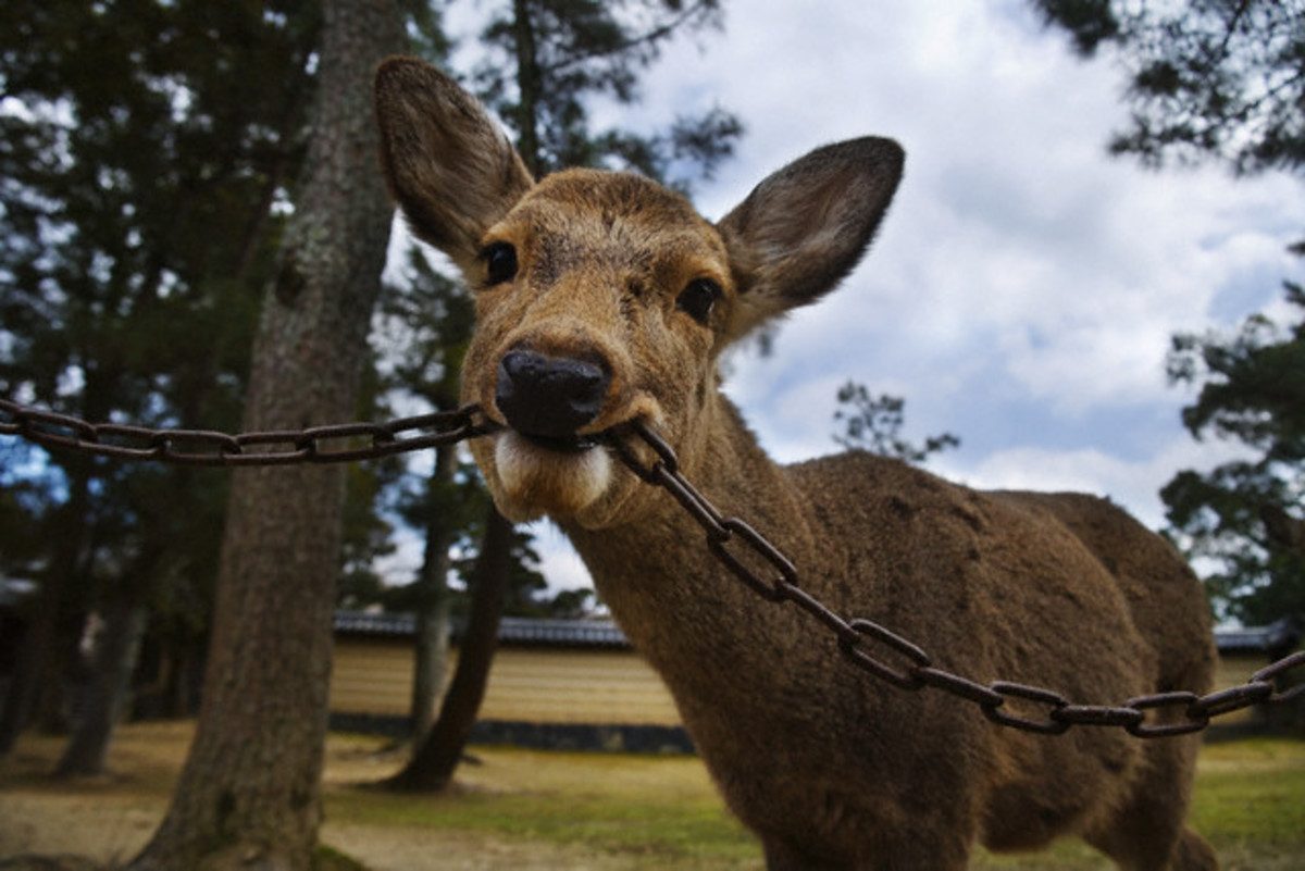 And this deer likes to chew on chains...