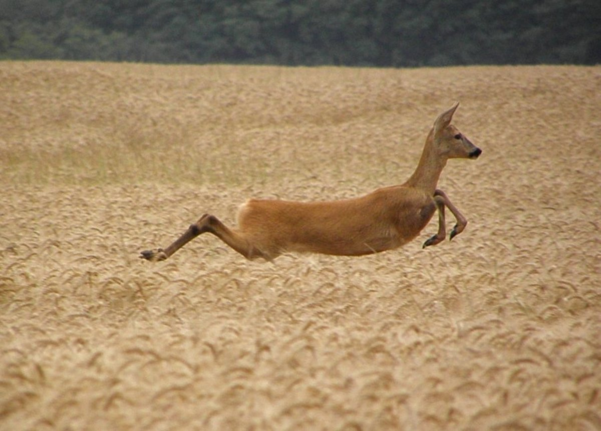 A deer with a most impeccable leap.