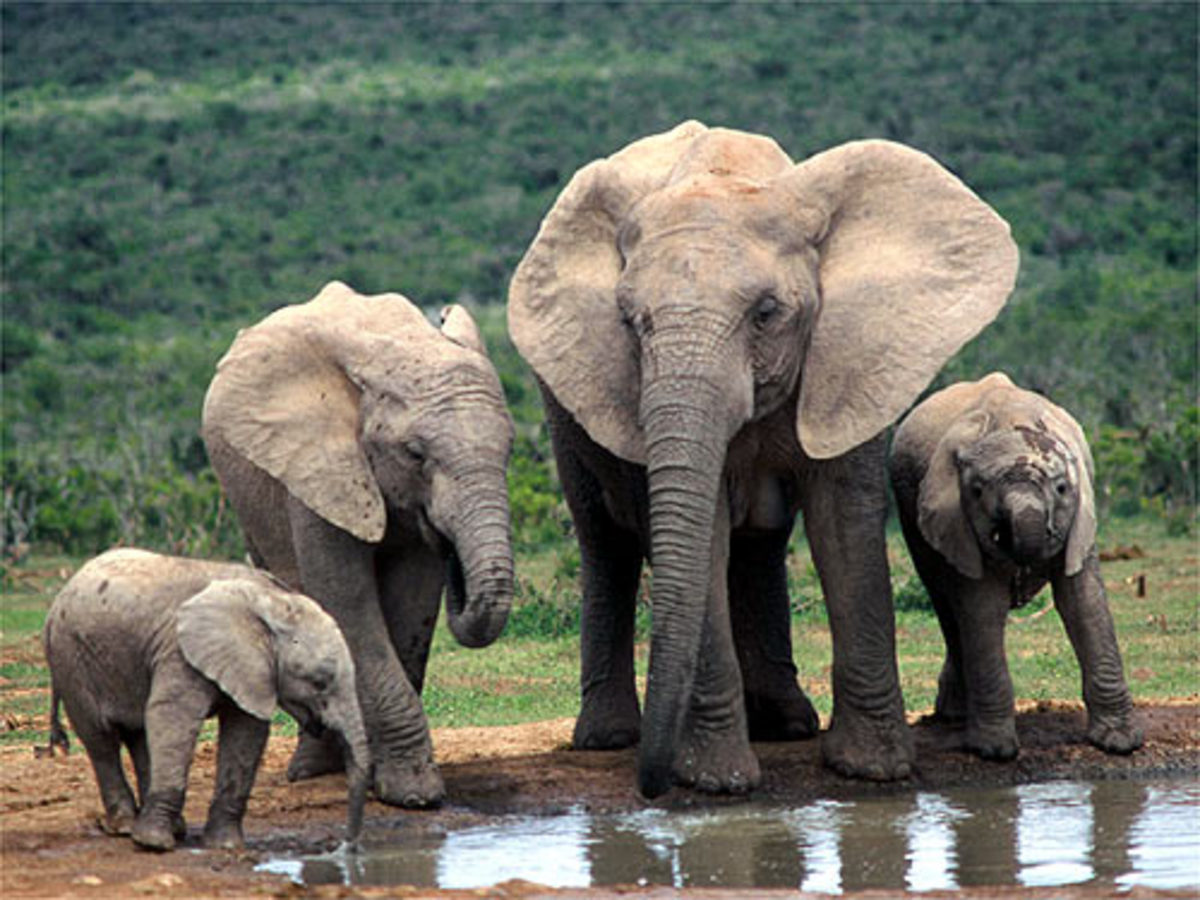 Save the African Elephant! the Biggest Land Animal Needs Your Help!