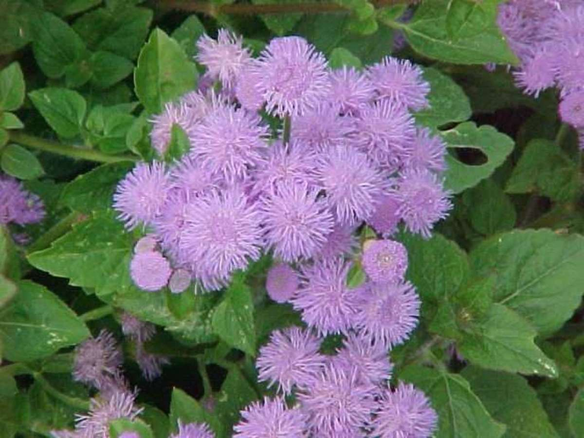 howtogrowageratumflowersseed