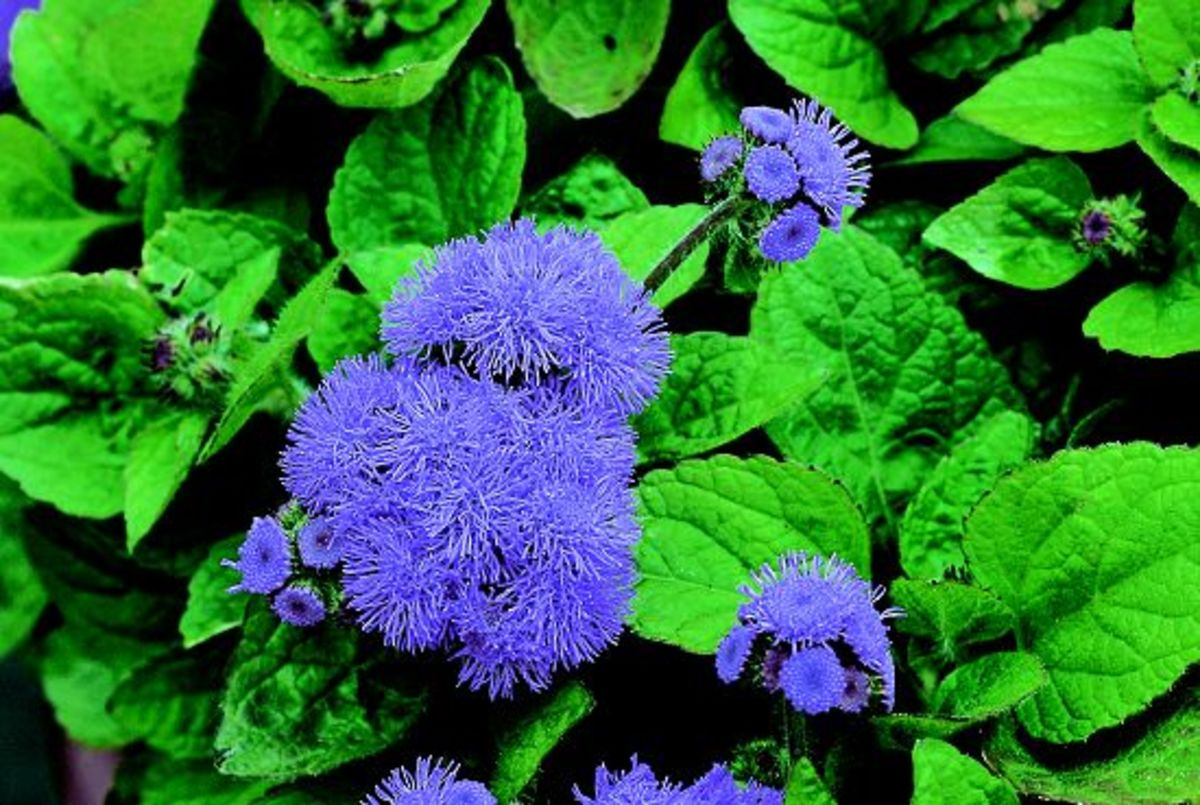 How to Grow Ageratum Flowers