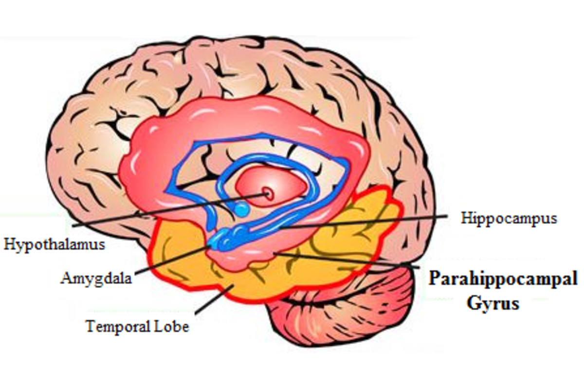 The parahippocampal gyrus plays an important role in memory encoding.