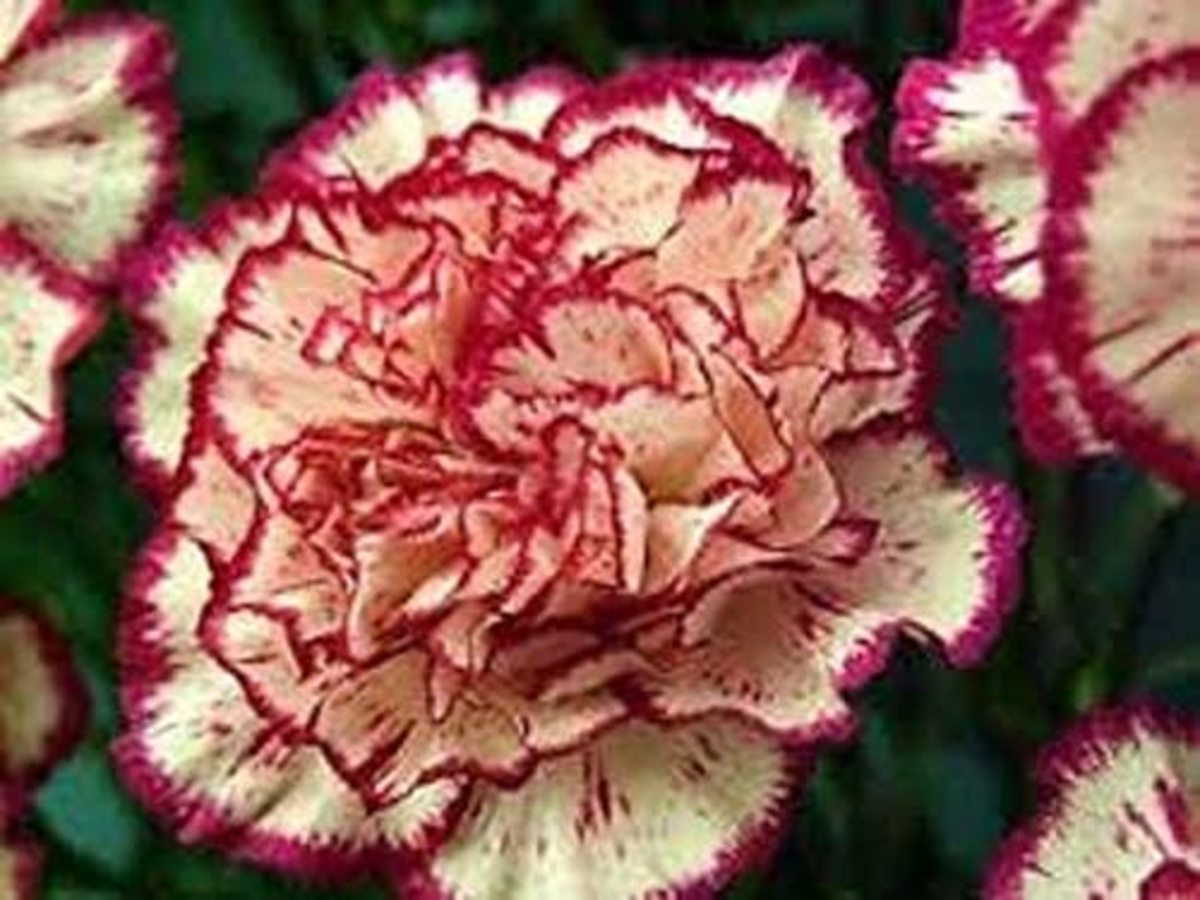 A striped carnation offers two colors.