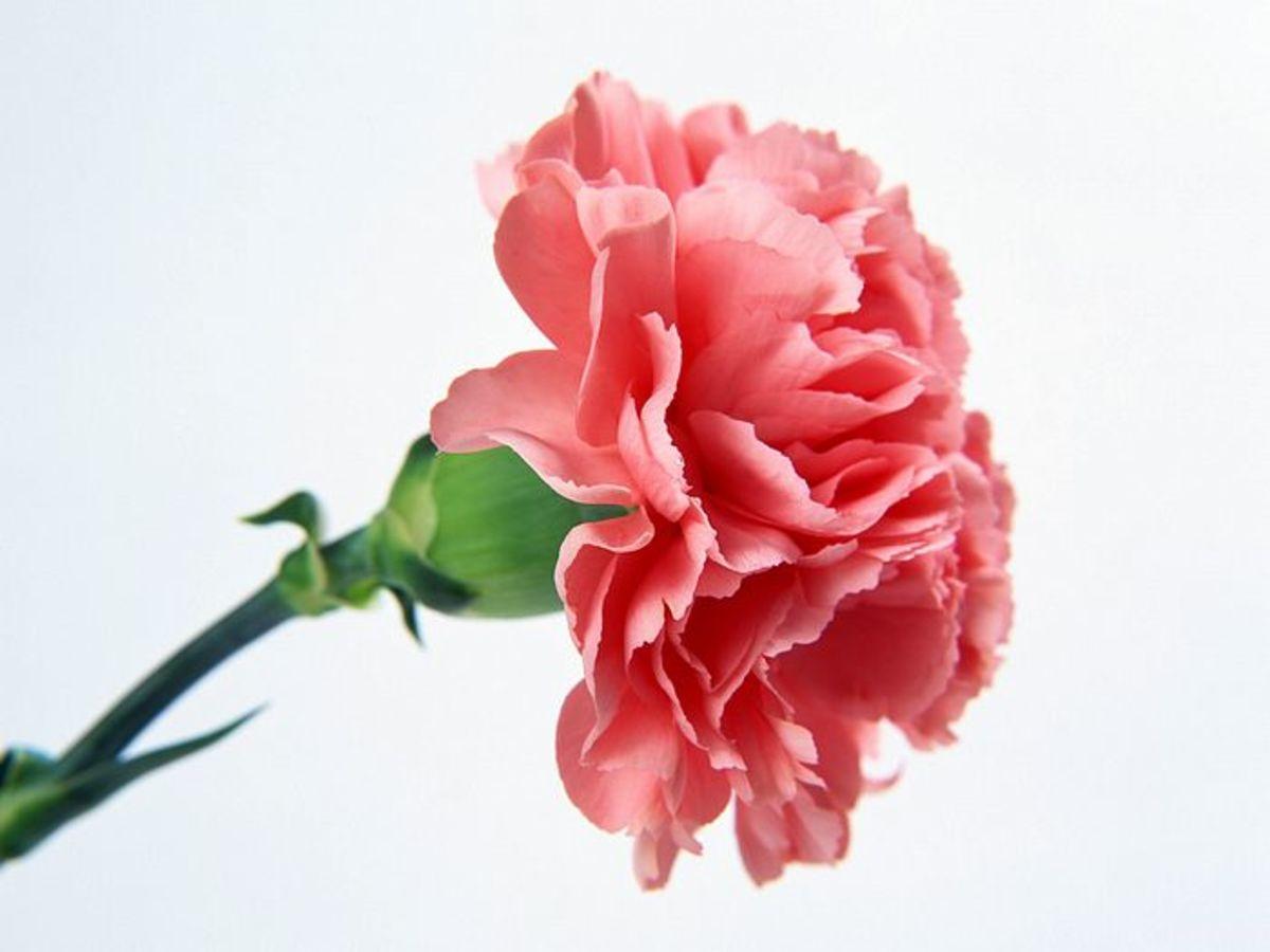 the white carnation - Carnation Flower Colors