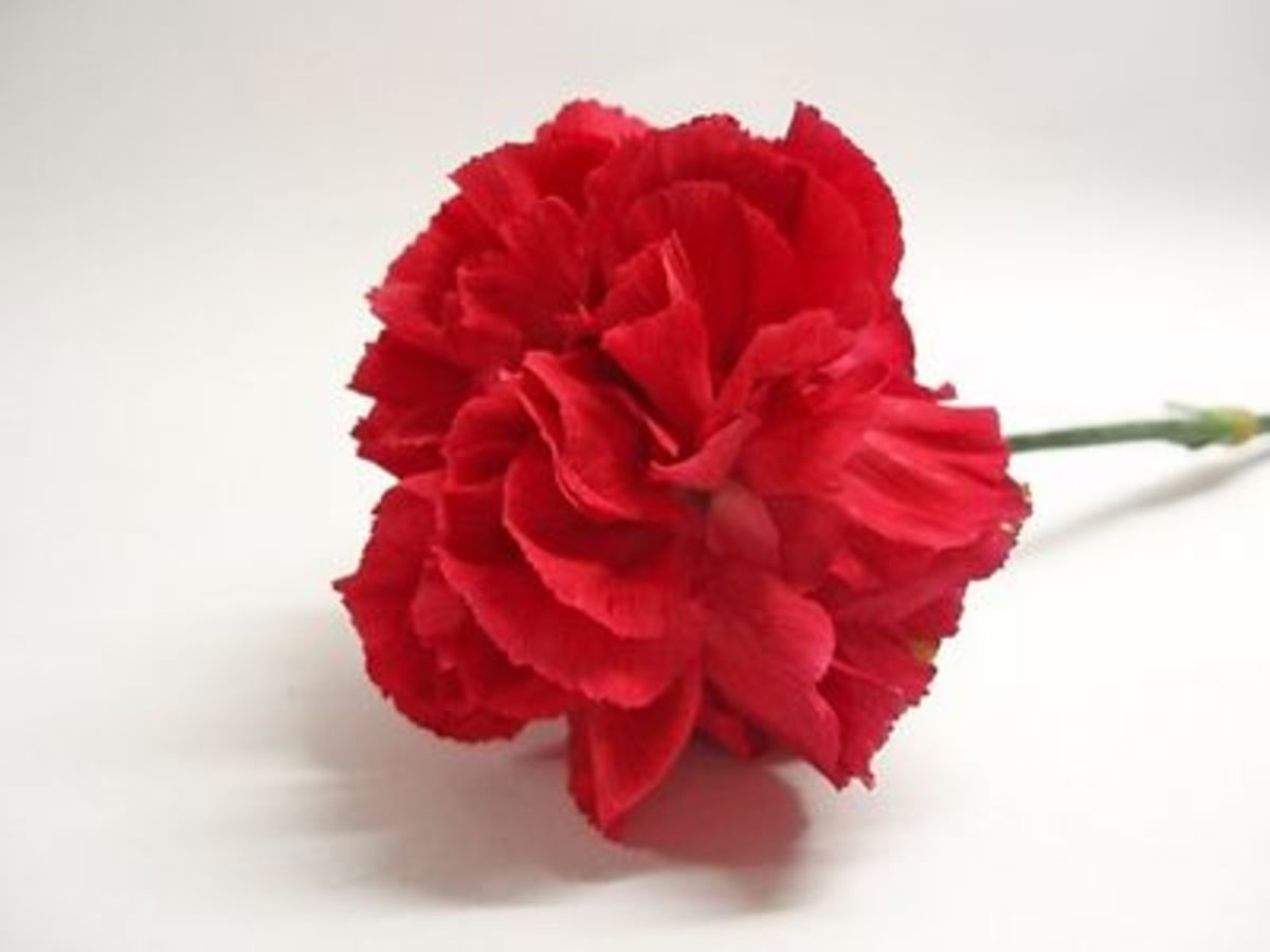 carnation-colors-and-what-they-mean